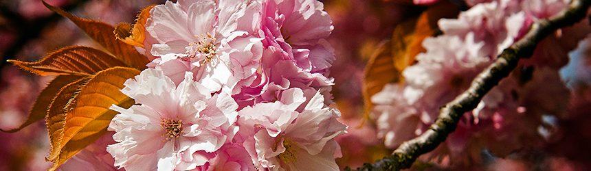 Kirschblueten (Britzer Garten)